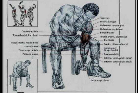 muscles of the arm concentration curls